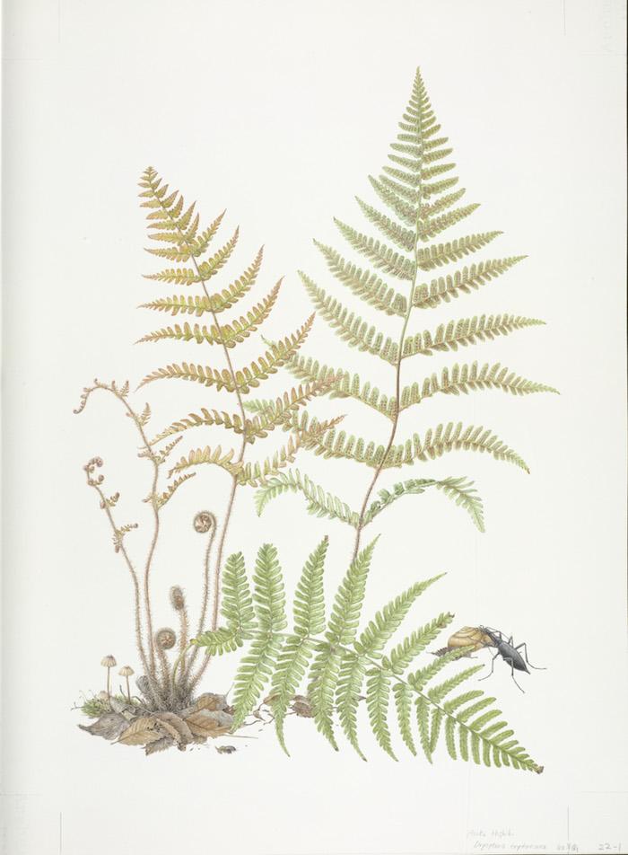 asuka-hishiki-dryopeteris-erythrosora-watercolour-on-paper
