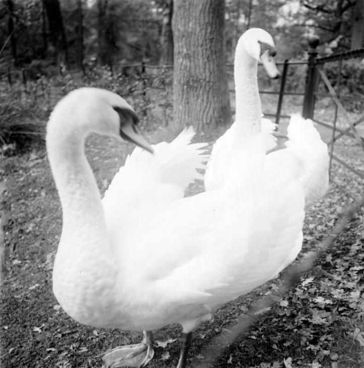 Photograph of swans taken at Mayfield, Sussex 1940 by Eileen Agar 1899-1991