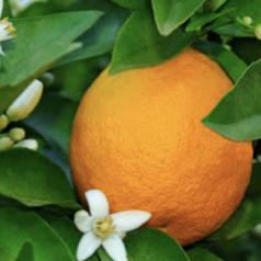 Frame: Oud & Orange Blossom