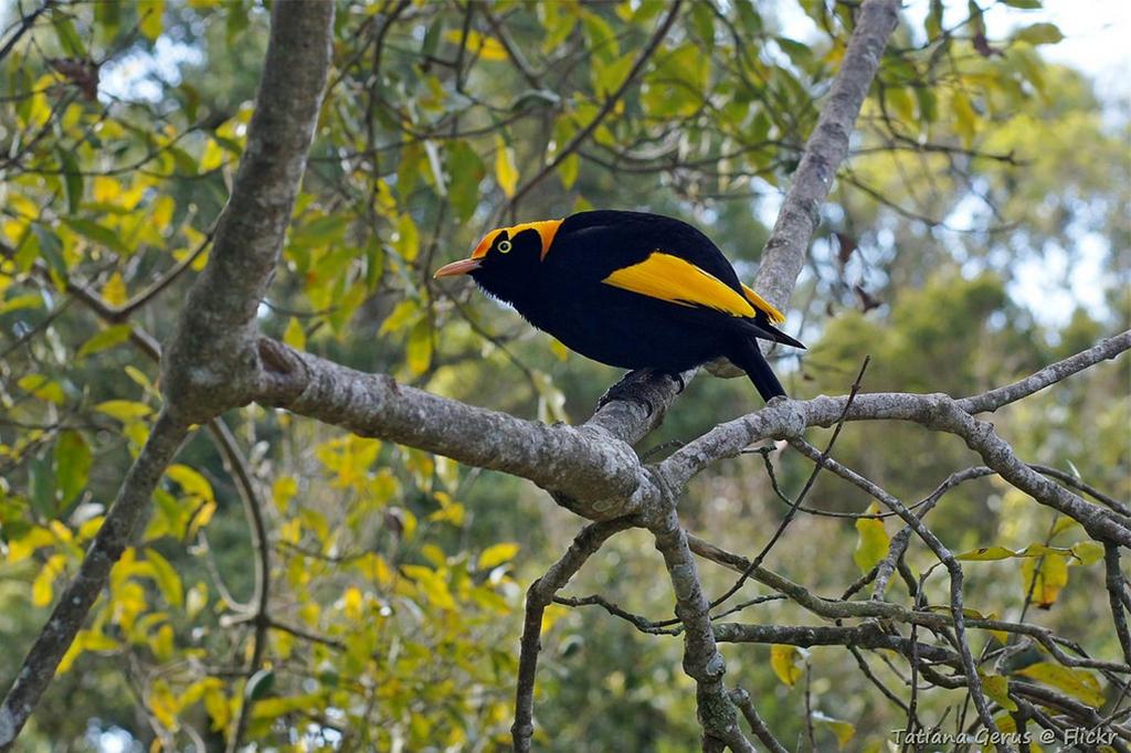 Male regent bowerbird 2 resize