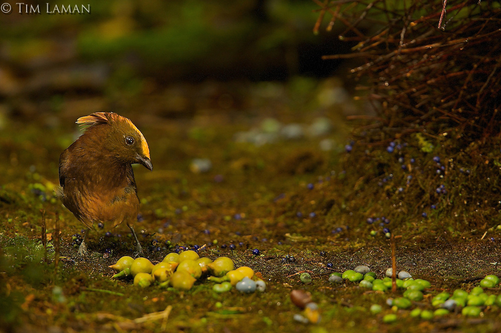 gold fronted bowerbird resize