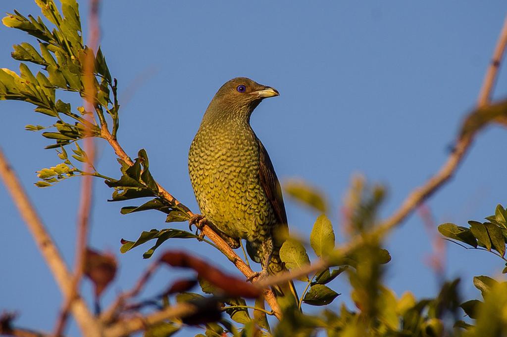 satin bowerbird resize