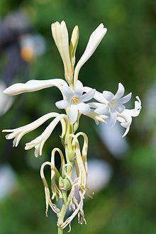 Tuberose_flower