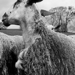 Bourgeoisie; The Wonders of Wool