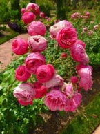 A Rose, my Forever  Heroine