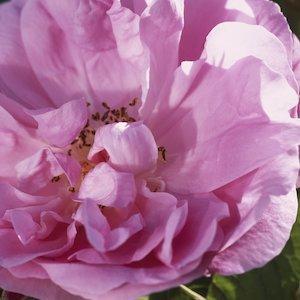 The 100 Leaf Rose